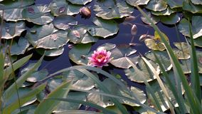 Soothing lake view with water lilies. stock video footage