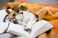 Soothing reading book. Cute dog with glasses asleep in bed reading a book Royalty Free Stock Photo