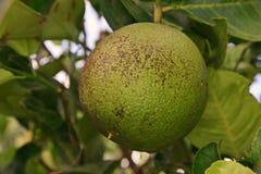 Soothy foremka na cedrat owoc, rośliny choroba zdjęcie stock