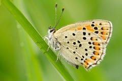 Sooty χαλκός, tityrus Lycaena, άγρια φύση, πεταλούδα, τσεχικά στοκ φωτογραφία με δικαίωμα ελεύθερης χρήσης