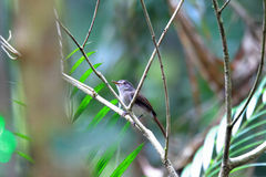 Sooty-capped Babbler Royalty Free Stock Photos