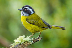 Sooty Capped Bush Tanager Royalty Free Stock Image