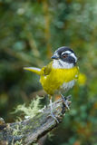 Sooty Capped Bush Tanager. Adult Sooty Capped Bush Tanager Perched On Mossy Stump royalty free stock photography