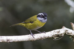 Sooty-capped Chlorospingus. Perched on a branch Stock Image