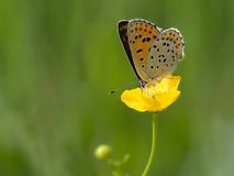 Sooty Copper. Butterfly sitting on a kingcup Royalty Free Stock Photography