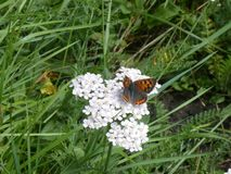 Sooty copper butterfly black grey orange in the meadow stock photo