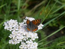 Sooty copper butterfly black grey orange in the meadow royalty free stock photos