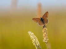 Sooty Copper Butterfly on Grass. Sooty Copper (Lycaena tityrus) Resting on Grass Ear in the Sun Royalty Free Stock Image