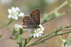 Sooty Copper. Butterfly (Lycaena tityrus Royalty Free Stock Images