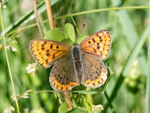 Sooty copper butterfly - Lycaena tityrus. Beautiful brown butterfly on grass Stock Photography