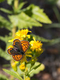 Sooty copper butterfly - Lycaena tityrus. Enjoying sunshine on yellow flower Stock Photos