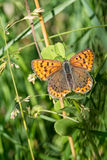 Sooty copper butterfly - Lycaena tityrus. Vertical composition. Beautiful brown butterfly on grass Stock Image