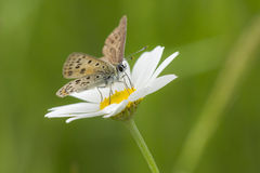 Sooty copper butterfly on a oxeye daisy. Small copper butterfly pollinating on a oxeye daisy in summer royalty free stock image