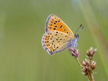 Sooty Copper Butterfly on rush. Sooty Copper (Lycaena tityrus) Resting on bulrush flowers in june Stock Images