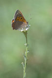 Sooty Copper, Lycaena tityrus. Sooty Copper the Lycaena tityrus Royalty Free Stock Images