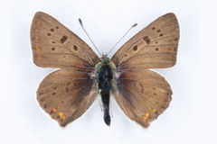 Sooty Copper Lycaena tityrus brown  butterfly on white Stock Image