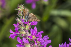 Sooty copper (Lycaena tityrus). A sooty copper on a purple flower Stock Images