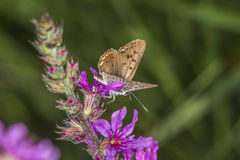 Sooty copper (Lycaena tityrus). A sooty copper on a purple flower stock image