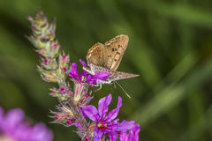 Sooty copper (Lycaena tityrus) Royalty Free Stock Photography