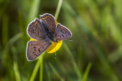 Sooty copper (Lycaena tityrus). A sooty copper is sitting on a flower Stock Photo