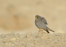 Sooty Falcon Royalty Free Stock Photography