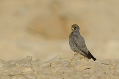 Sooty Falcon. On rock in Israel deset stock image