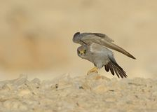 Sooty Falcon. Stand on desert ground stock photography