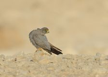 Sooty Falcon. Stand on desert ground stock photos