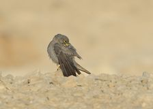 Sooty Falcon. Stand on desert ground stock image