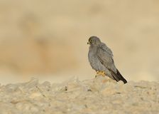 Sooty Falcon. Stand on desert ground royalty free stock image