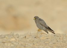 Sooty Falcon. Stand on Israel desert rock royalty free stock images