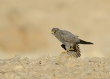 Sooty Falcon. Stand on Israel desert rock stock photography