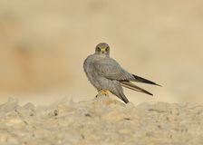 Sooty Falcon. Stand on Israel desert rock stock image