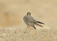 Sooty Falcon Stock Image