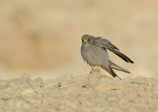 Sooty Falcon. Stand on Israel desert rock stock photo