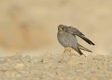 Sooty Falcon Stock Photo
