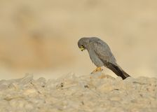 Sooty Falcon. Stand on Israel desert rock stock images