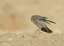 Sooty Falcon. Stand on Israel desert rock royalty free stock photography