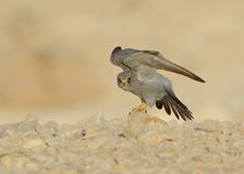 Sooty Falcon. Standing on desert rock stock images