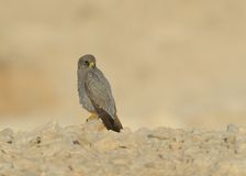 Sooty Falcon. Standing on desert rock stock photography