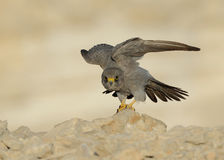 Sooty Falcon. Standing and Looking straight stock images