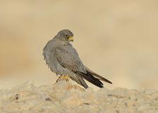 Sooty Falcon. Sooty Sooty Falcon stands on rock with side look stock image