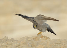 Sooty Falcon. Sooty Sooty Falcon stands on rock with straight look royalty free stock photography