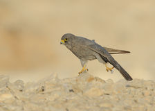 Sooty Falcon. Stretching and standing on one leg stock photography