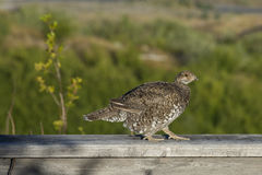 Sooty grouse bird. A wild sooty grouse walks a railing Royalty Free Stock Photography
