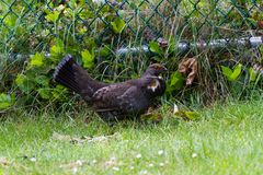 Sooty Grouse. On the ground Stock Photography