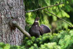 Sooty Grouse. Standing on pine tree Royalty Free Stock Photography