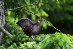 Sooty Grouse. Standing on pine tree Stock Photos