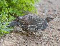Sooty Grouse on trail. In Mount Rainier National Park Royalty Free Stock Image