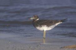 Sooty gull, Larus hemprichii. Single bird by water, Oman Stock Photography